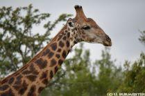 BUR_1901_Giraffe